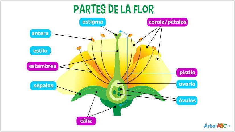 Partes de la flor y sus funciones rbol abc for Cuales son las partes de un arbol