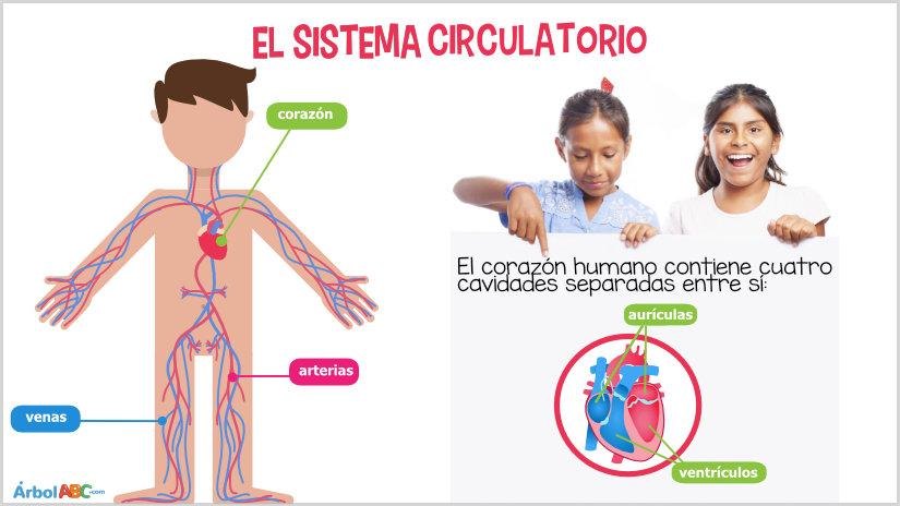 arterias y venas para niños