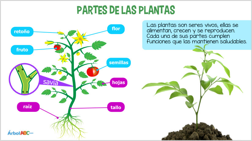 Las plantas rbol abc for Cuales son las partes de un arbol